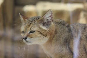 Sand Cat by lucky128stocks