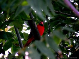 Red Cardinal by Shad0wKillr
