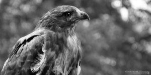 Red-tailed Hawk by Chaotic-Chelly