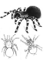 A. geniculata drawings by Samichan16