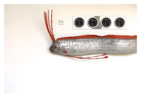 NHM Oarfish by makepictures