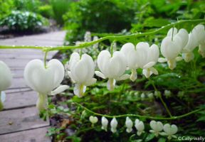 White Bleeding Hearts by Cally-wally