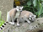Curious Ring-Tailed Lemurs by Shrewdy