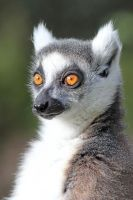 Portrait of a Lemur 02 by s-kmp