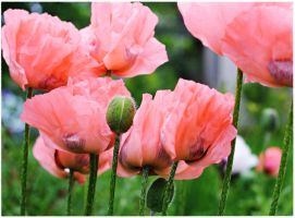 peachy poppies II by miss-gardener