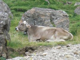 Cow at rest by Alcyone07