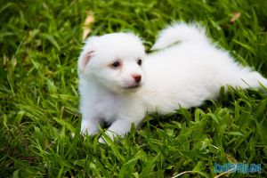 Lil' Cottonball by Dossium