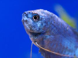 Powder Blue Gourami by xHalloweenx