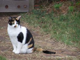 Calico Cat Sitting by effing-stock
