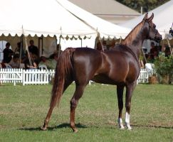 TW Arab liverchest showpose back3/4 by Chunga-Stock