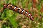 Caterpillar of the spurge hawkmoth by SmartyPhoto
