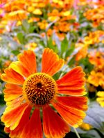 .stock: sunburst orange. by guavon-stock