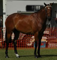 Bay-warmblood-11 by tbg-stock-images