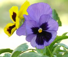 Pansies for Autumn by GramMoo