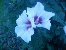 Hibiscus Cold and Drewry by AceOfStCanardKLy