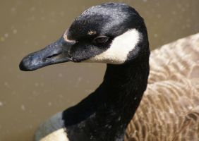 Canada Goose, Untouched by MLStock