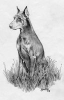 Doberman Dog 3. Pencil by FrozenPinky