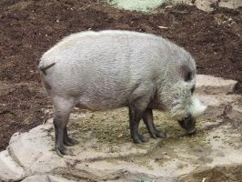 Bearded Pig 1 by dtf-stock