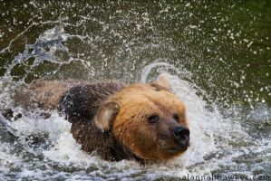 Eurasian Brown Bear 02 by Alannah-Hawker