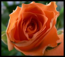 orange rose by kram666