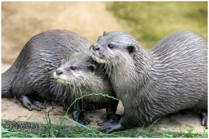 Otters 01 by Clerdy