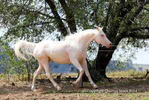 KR Arabian cremello canter side view by Chunga-Stock