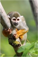 2011-93 Squirrel Monkey by W0LLE