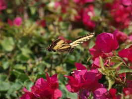 Western Tiger Swallowtail 15 by photographyflower