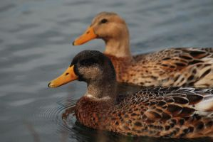 Duck Couple by BiodiVersitY