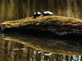 Turtle Reflections by S-H-Photography