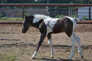 Pony Foal 1 by PhotographyAndGoats