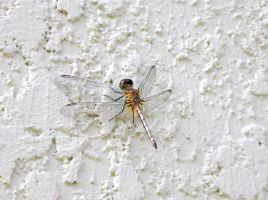Dragonfly on the wall by Agatje