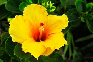 Yellow hibiscus - Maui by wildplaces