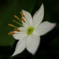 Starflower IV by Photopathica