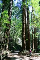 Talles trees in Muir Woods by Dr-J-Zoidberg