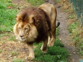 2014 - African lion 9 by Lena-Panthera
