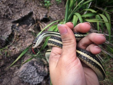 Red Striped Ribbon Snake by 3Scar
