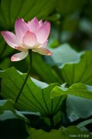 water lily by Dragon168