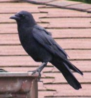 Crow Nr 3 by Limited-Vision-Stock
