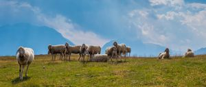 Sheep Austria UWHD 21:9 2560x1080 Wallpaper by aradilon
