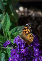 Painted Lady by Barn0wl