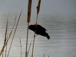 Red-Winged Blackbird by Giez-R