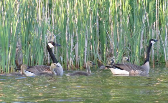 Geese Family by littleride