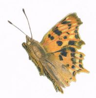 Comma Butterfly by Worker-for-the-Wind