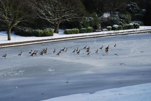 Geese On A Frozen Lake by phraxdust