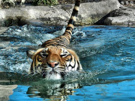 Swimming Tiger by Poetrymann