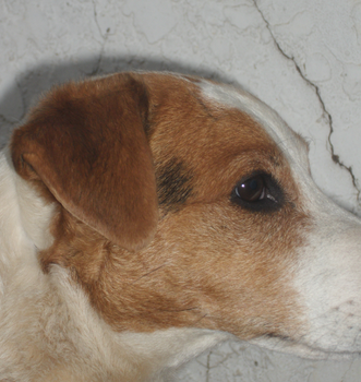 Jack Russel against the Wall by 888Jess888