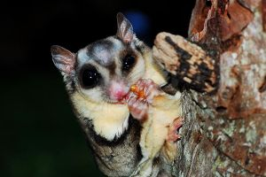 Baby Sugar Glider by yourdistraction