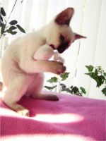 kitten playing with mouse by Janinedingx3