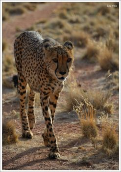 Meet the cheetah in Namibia by KlaraDrielle